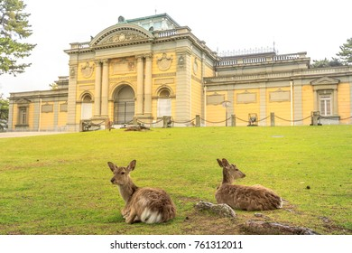 Two wild deer sitting on the grass in front of National Museum of Nara in Nara, Japan. The park of Nara is a public park where over 1,200 wild sika rotates freely and are considered a natural monument