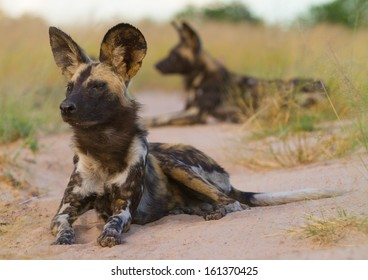 Two Wild Dog (Lycaon pictus) lying down