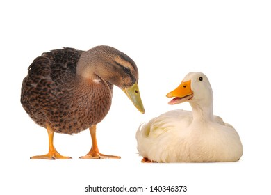 two wild duck on a white background