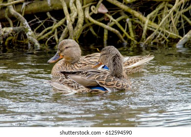 two wild ducks floating along the shore along the river