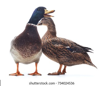 Two wild ducks isolated on a white background.