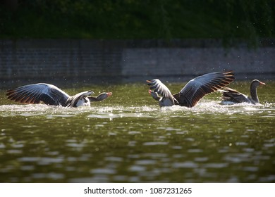 two wild geese in quarrel