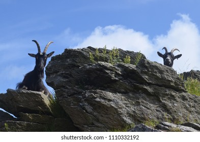 two wild goats