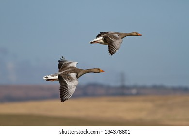 Two Wild Greylag Geese in Flight