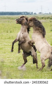 Two wild horses fighting