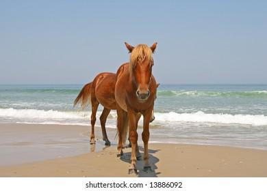 Two wild horses on the beach near the ocean