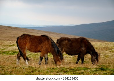 Two wild horses who are feeding on the UK meadow.