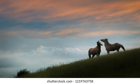 Two wild Kaimanawa horses in the mountain ranges with Mount Ruapehu in the distance, Central Plateau, New Zealand