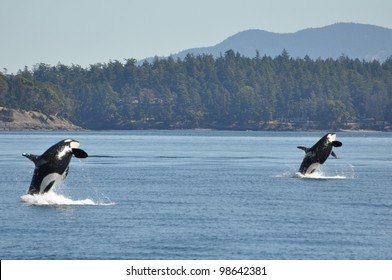 Two wild killer whales breach in synchrony.