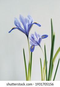 Two wild lilac irises on the white background