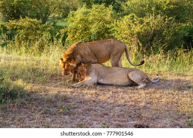 Two wild lion males who cuddle with each other