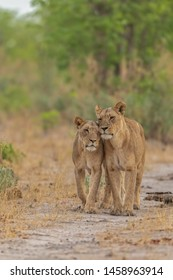 two wild lionesses from one pride walking on a road in savannah