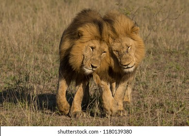 Two wild male lions brother, Panthera leo, greeting each other affectionately in Greater Kruger National Park, Africa