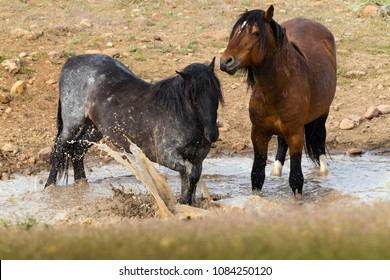 Two Wild Mustang Horses in watering hole splashing and playing.  Northern, Nevada