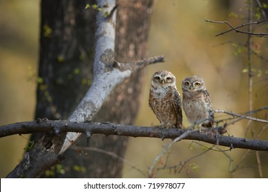 Two wild owls, Spotted Owlet, Athene brama, indian owls perched on branch in dry forest of India, staring directly at camera. Owl with yellow eyes. Indian wildlife photography,Ranthambore,Rajasthan.