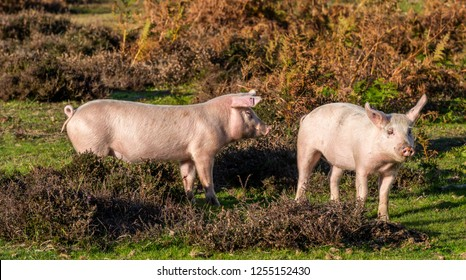 Two wild pig roaming in forest and heathland floor in autumn in  National Park New Forest, England.