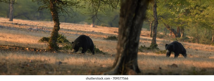 Two wild sloth bears, Melursus ursinus walking in indian savanna lit by early sun. Wild animals in natural environment of dry forest, Ranthambore national park, India.