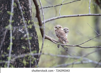 Two wild Spotted Owlets, Athene brama, small owl with yellow eyes, perched on branch in indian forest  on the beginning of wet season. Spotted Little Owl in its natural environment. Ranthambore park.