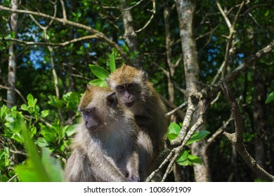 Two wild swimming monkeys in Mangrove forest. Malaysia Langkawi island.