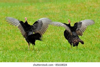 Two wild turkeys spreading their wings