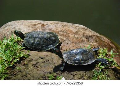 Two wild turtles