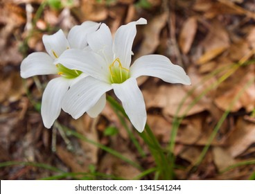 Two Wild White Lillies