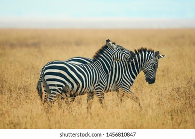 Two wild zebras play in the savannah of Tanzania.