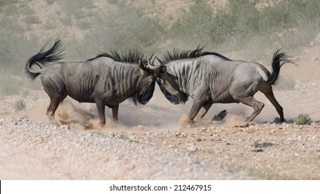 Two Wildebeests Violently Head Butting As Seen From A Side View Image Shows