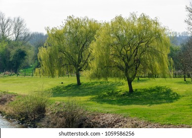 Two willow trees on the banks of the river Weser in Nienburg