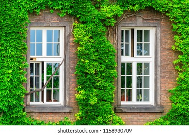 two windows and a dense vine on a brick wall