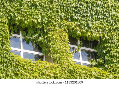 Two windows surrounded by green ivy