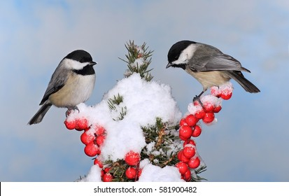 Two winter Black- capped Chickadees (Poecile atricapillus) on a festive spruce branch.