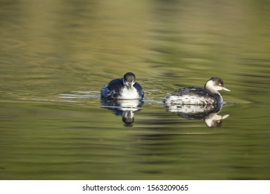 Two wintering Black-necked grebes, Podiceps nigricollis in winter plumage and their reflection, swimming sedately. Ghadira Nature Reserve, Malta,