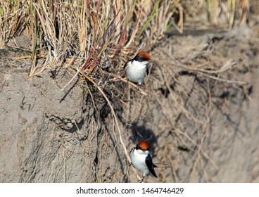 Two Wire-tailed Swallows sitting on a branch at the Bwabwata Nationalpark in Namibia during summer