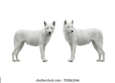 two wolf isolated on a white background