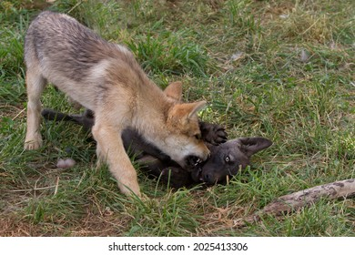 Two wolf puppies playing with each other