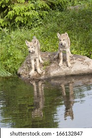 Two Wolf Puppies Reflection in Lake
