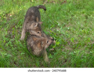 Two Wolf Pups (Canis lupus) Tussle in the Grass - captive animals