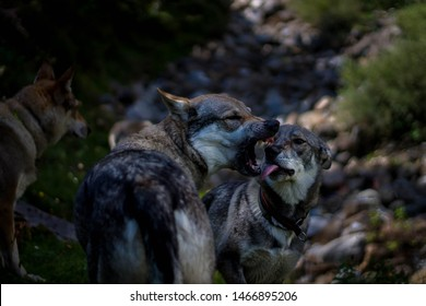 Two wolfdogs showing the theet