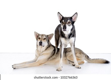 two wolfhounds in front of white background