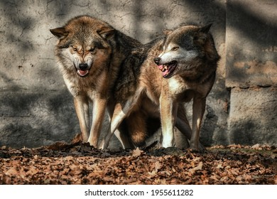 Two wolves (Canis lupus) near the wall in the leaves bared their teeth at the camera