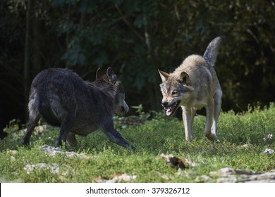 Two wolves fighting for food