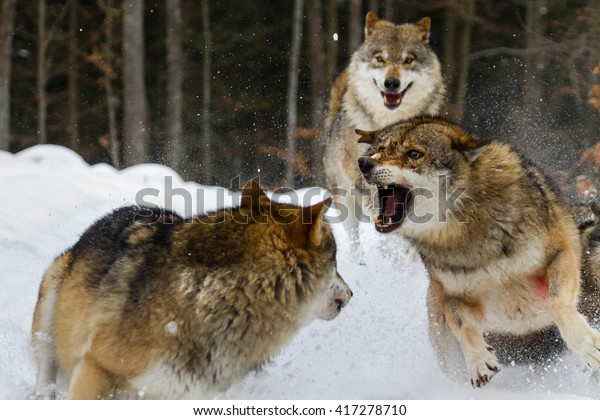 Two wolves fighting on snow with third one watching from behind