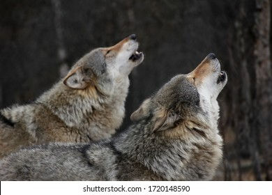 Two Wolves howling in Norway