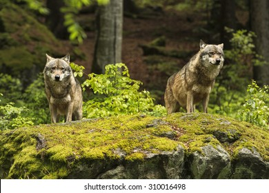 Two wolves on a rocky plateau lie in wait for prey, Canis lupus, wolf, wild wolf. CZECH REPUBLIC.