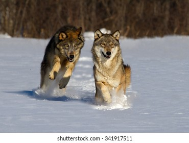 Two wolves running in snow towards camera