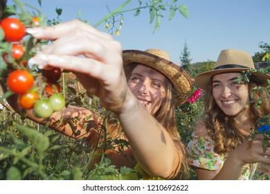 two women harvesting fresh vegetables