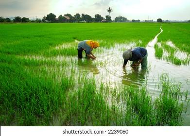 Two women working in paddy field