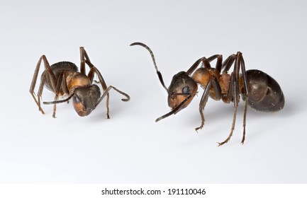 Two wood ants (Formica rufa) isolated on white backgroung (posed studio shot)