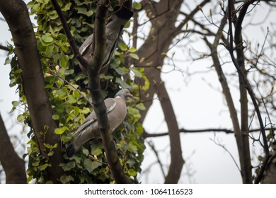 Two Wood Pigeons (Columba palumbus) from below perched in a tree